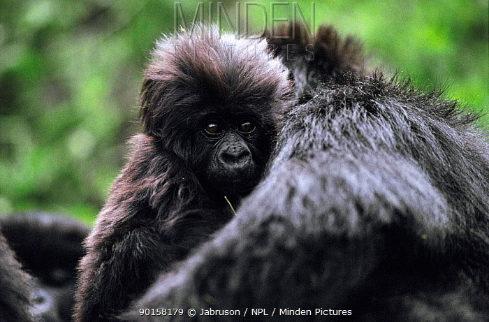 Mountain gorilla infant and mother (Gorilla gorilla beringei) Virunga NP, DR of the Congo  -  Jabruson/ npl