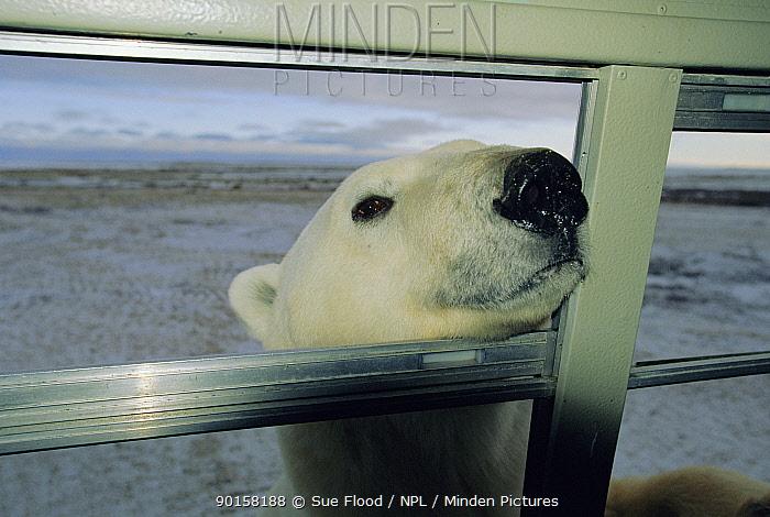Polar bear peers through window of tourist buggy (Ursus maritimus) Churchill, Canada  -  Sue Flood/ npl