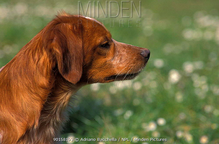 Brittany dog portrait  -  Adriano Bacchella/ npl