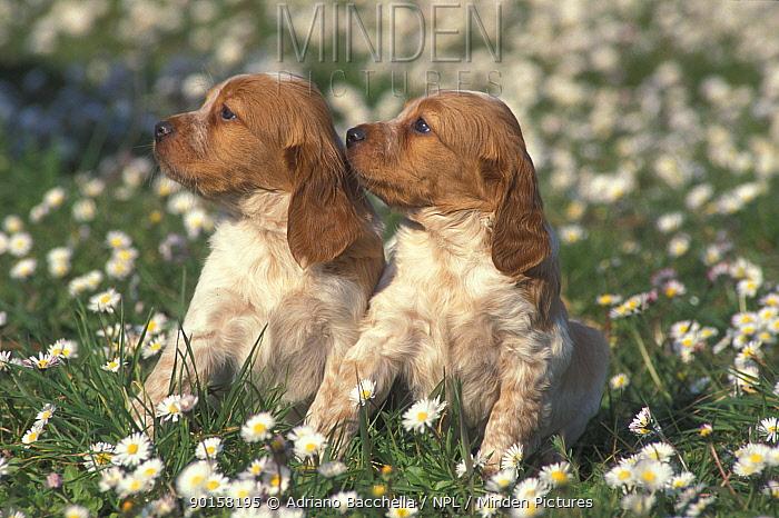 Two Brittany dog puppies  -  Adriano Bacchella/ npl