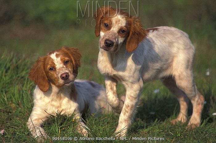 Two Brittany dogs  -  Adriano Bacchella/ npl