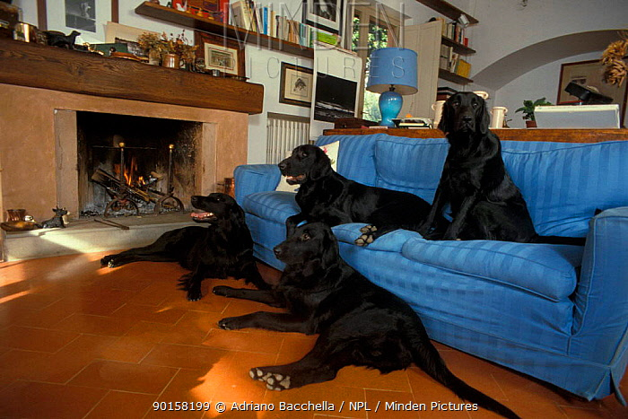 Four Flat coated retrievers resting on and beside sofa  -  Adriano Bacchella/ npl