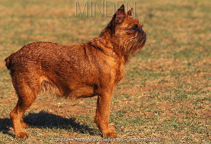 Griffon Bruxellois dog with docked tail  -  Adriano Bacchella/ npl