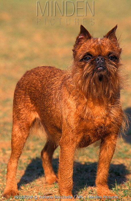Griffon Bruxellois dog  -  Adriano Bacchella/ npl