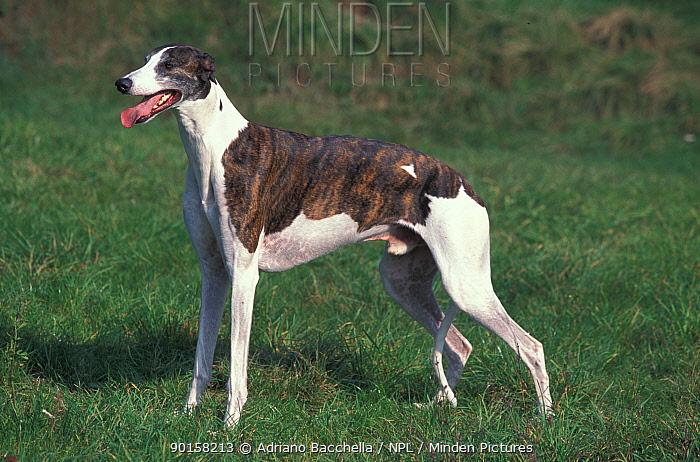 Greyhound portrait  -  Adriano Bacchella/ npl