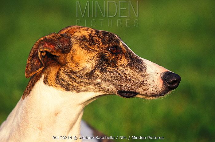 Greyhound  -  Adriano Bacchella/ npl
