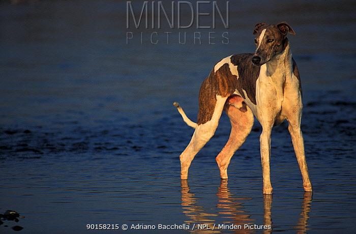 Greyhound standing in shallow water  -  Adriano Bacchella/ npl