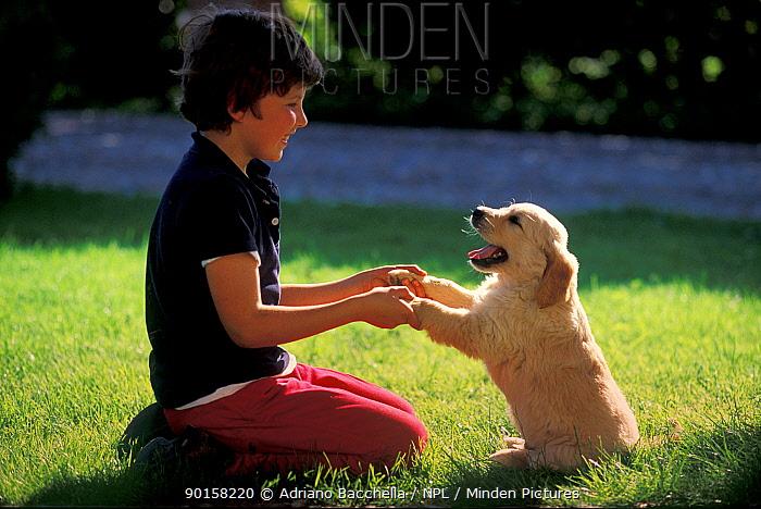 Child 'holding hands' with Golden retriever puppy  -  Adriano Bacchella/ npl