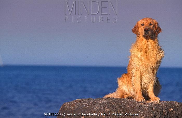 Golden retriever sitting portrait at beach  -  Adriano Bacchella/ npl
