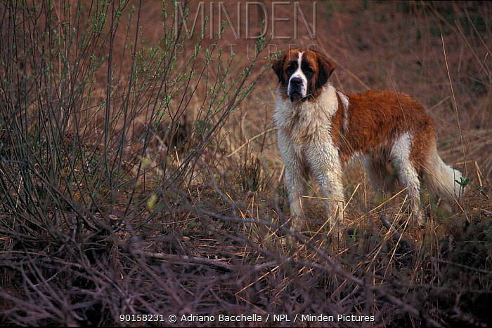 St Bernard dog  -  Adriano Bacchella/ npl