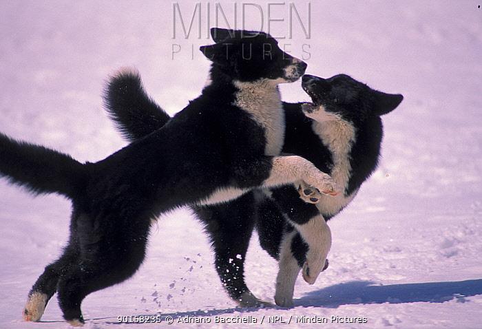 Karelian Bear Dogs playing in snow  -  Adriano Bacchella/ npl