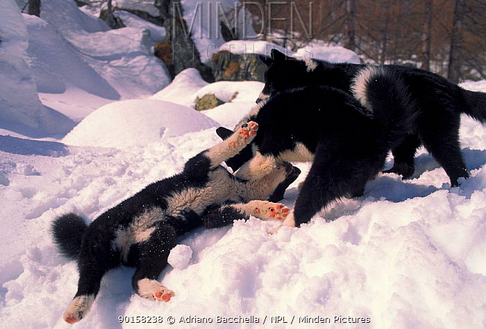 Two Karelian Bear Dogs playing in snow  -  Adriano Bacchella/ npl
