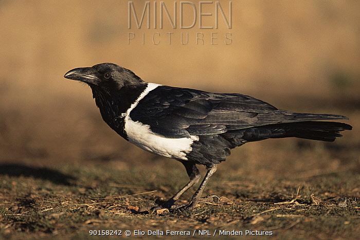 Portrait of Pied crow (Corvus albus), Simien NP, Ethiopia  -  Elio Della Ferrera/ npl