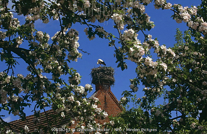White stork (Ciconia ciconia) nesting in chimney, Brandenberg, Germany  -  Christoph Becker/ npl
