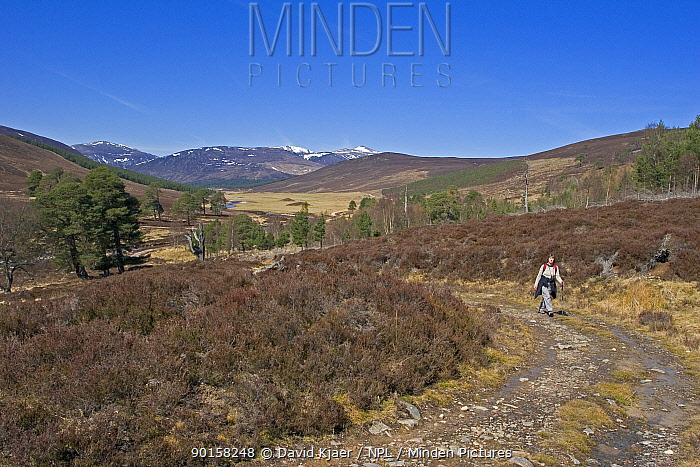 Rambler walking, Glen Lui, Deeside, Scotland, UK  -  David Kjaer/ npl