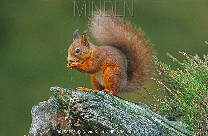 Red Squirrel (Sciurus vulgaris) feeding, Speyside, Scotland, UK  -  David Kjaer/ npl
