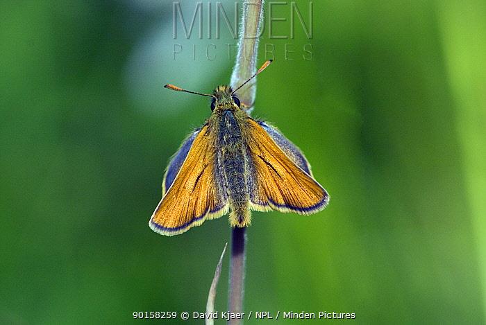Small skipper butterfly (Thymelicus sylvestris) Wiltshire, England  -  David Kjaer/ npl