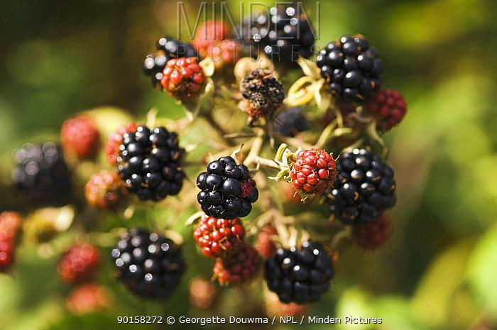 Mature Blackberries on Bramble bush (Rubus fruticosus) autumn UK  -  Georgette Douwma/ npl