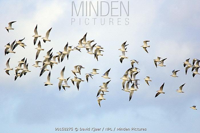Black-headed Gulls (Larus ridibundus) winter plumage flock in flight, Gloucestershire, UK  -  David Kjaer/ npl