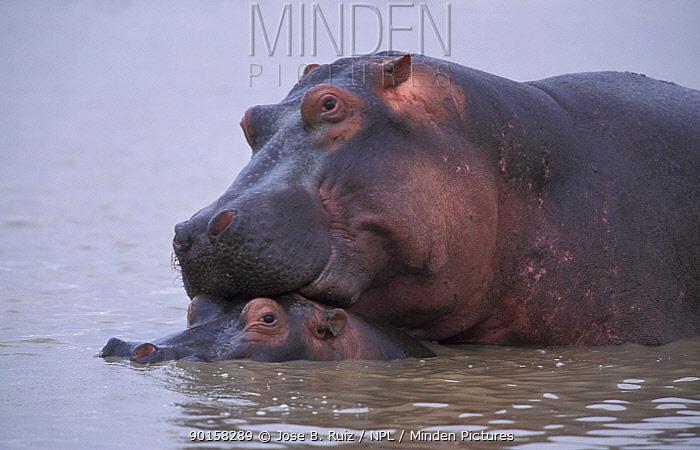 Hippopotamuses mating (Hippopotamus amphibius) Kenya  -  Jose B. Ruiz/ npl