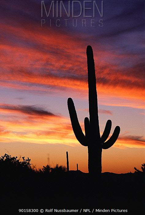 Saguaro cactus silhouette at sunset, Saguaro NP, Arizona, USA  -  Rolf Nussbaumer/ npl