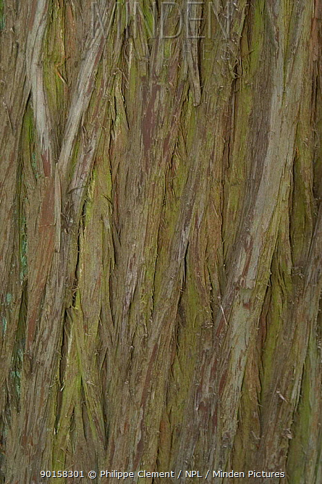 Close up of bark of Dawn redwood tree (Metasequoia glyptostroboides), native to China  -  Philippe Clement/ npl