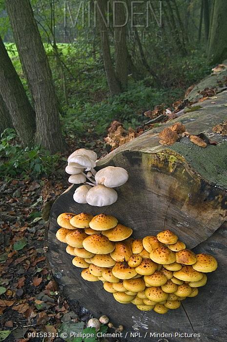 Golden scalycap (Pholiota aurivella) and Porcelain fungus (Oudemansiella mucida) Belgium  -  Philippe Clement/ npl