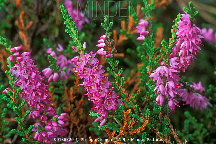 Heather flowering (Calluna vulgaris) Belgium  -  Philippe Clement/ npl