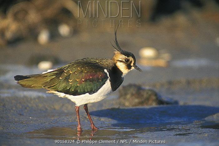 Lapwing foraging on shore (Vanellus vanellus) Belgium  -  Philippe Clement/ npl
