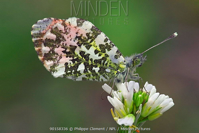 Orange tip butterfly on flower (Anthocharis cardamines) France  -  Philippe Clement/ npl