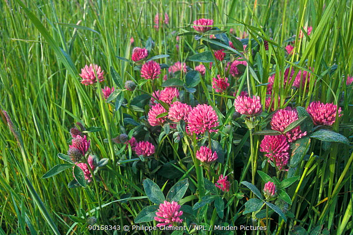 Red clover flowering in field (Trifolium pratense) Belgium  -  Philippe Clement/ npl