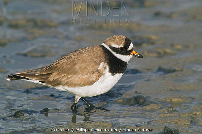 Ringed plover foraging in mud (Charadrius hiaticula) Netherlands  -  Philippe Clement/ npl