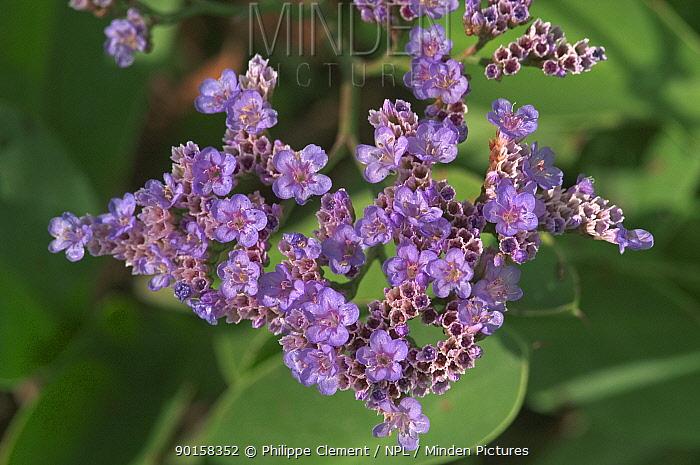Sea lavender flowers (Limonium vulgare) Belgium  -  Philippe Clement/ npl