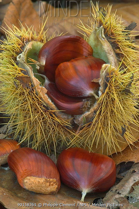 Sweet chestnuts (Castanea sativa) Belgium  -  Philippe Clement/ npl