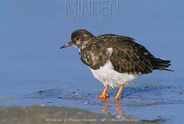 Turnstone with feathers fluffed up (Arenaria interpres) Belgium  -  Philippe Clement/ npl