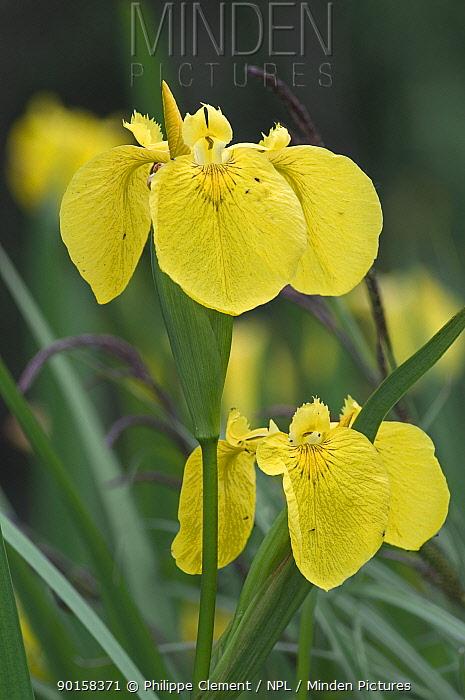 Yellow, Flag iris (Iris pseudacorus) Belgium  -  Philippe Clement/ npl