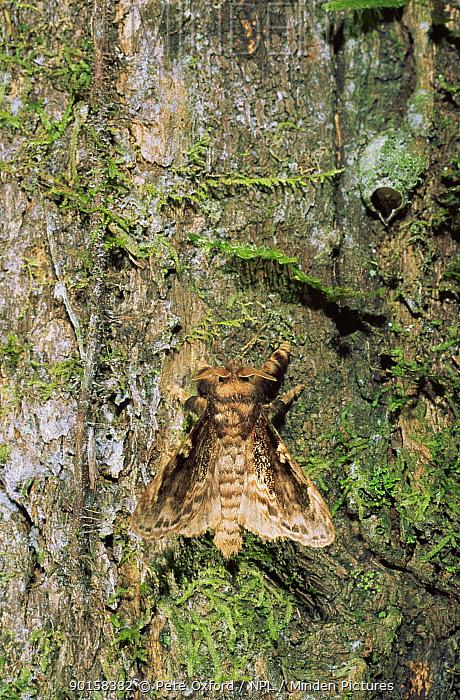 Cryptic moth on tree trunk Amazonia, Ecuador  -  Pete Oxford/ npl