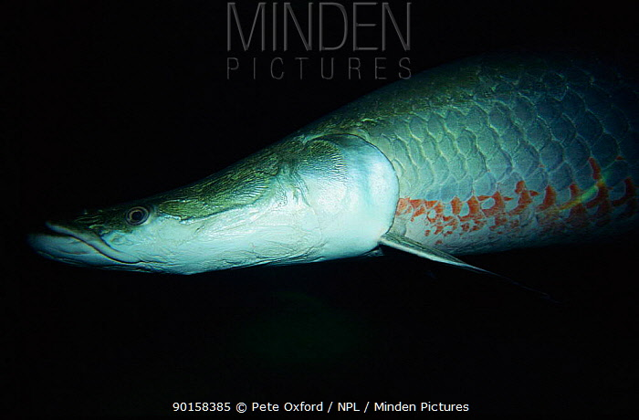 Giant arapaima (Arapaima gigas) the largest freshwater fish, Amazon, Brazil  -  Pete Oxford/ npl
