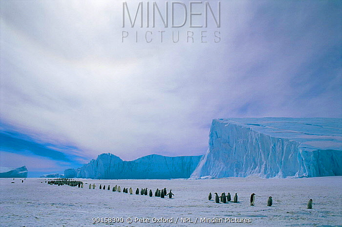 Emperor penguin adults and chicks going to colony (Aptenodytes forsteri) Auster EP rookery, Antarctica  -  Pete Oxford/ npl