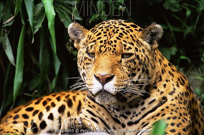 Jaguar portrait (Panthera onca) South America captive  -  Pete Oxford/ npl