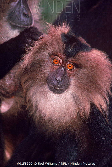 Young Liontail macaque Occurs SW India, Endangered species  -  Rod Williams/ npl