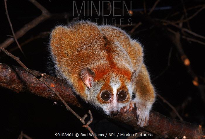 Young Pygmy slow loris, occurs China, Vietnam and Laos  -  Rod Williams/ npl