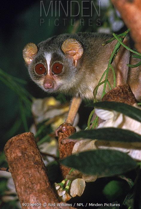 Slender loris, vulnerable species occurs India and Sri Lanka  -  Rod Williams/ npl