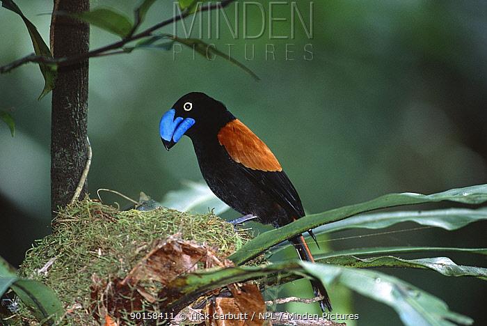 Helmet vanga (Euryceros prevostii) at nest, Maasoala, NE Madagascar  -  Nick Garbutt/ npl