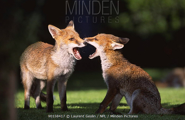 Two Red fox (Vulpes vulpes) cubs playing in garden, UK  -  Laurent Geslin/ npl