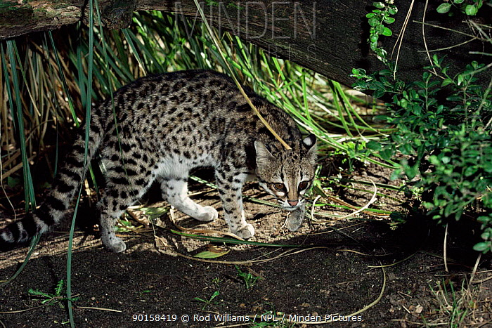 Male Tiger, Little spotted cat (Felis tigrinus gettula) Captive  -  Rod Williams/ npl