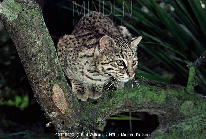 Male Geoffroy's cat (Felis geoffroyi) sitting on branch Captive  -  Rod Williams/ npl