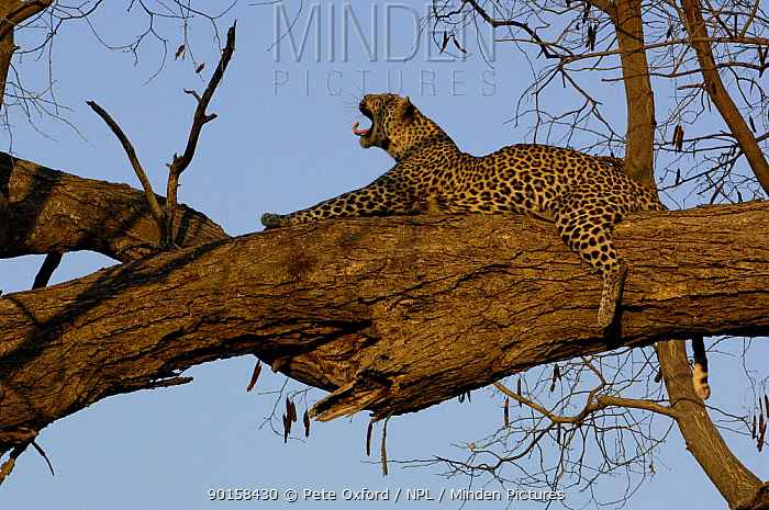 Leopard (Panthera pardus) female yawning whilst relaxing on the branch of a tree Savuti Channel, Linyanti area, Botswana, Southern Africa  -  Pete Oxford/ npl