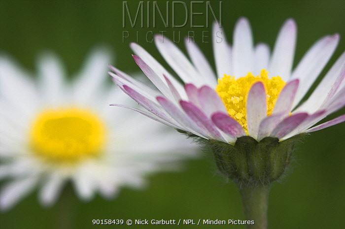 Common daisy (Bellis perennis) Isle of Mull, north west Scotland  -  Nick Garbutt/ npl