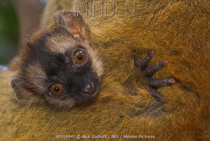 Red fronted lemur (Eulemus, Lemur fulvus rufus) infant nestling on mother's thigh, Ranomafana National Park, Madagascar  -  Nick Garbutt/ npl